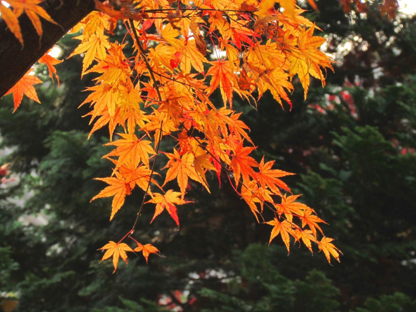古刹、老树、红叶_图1-31