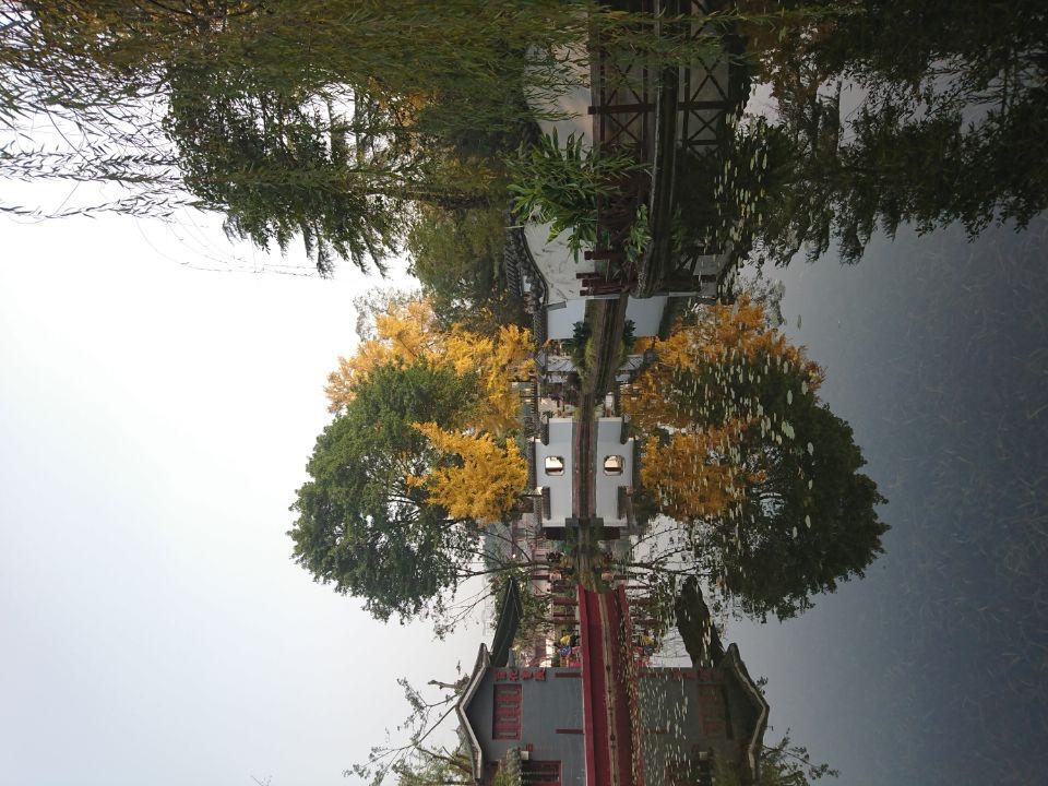 成都滨江西路与百花潭公园的银杏树_图1-11