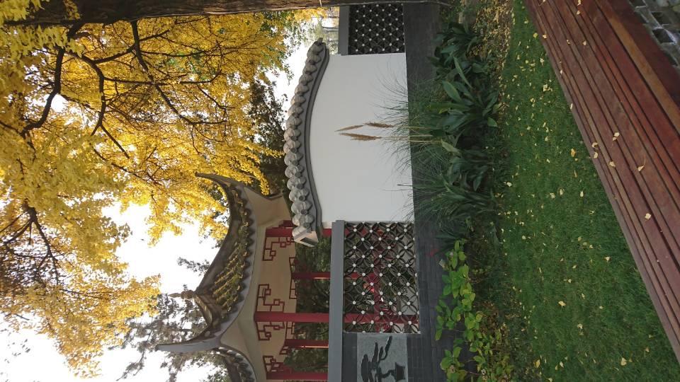 成都滨江西路与百花潭公园的银杏树_图1-9