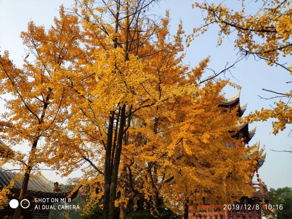 成都滨江西路与百花潭公园的银杏树_图1-5