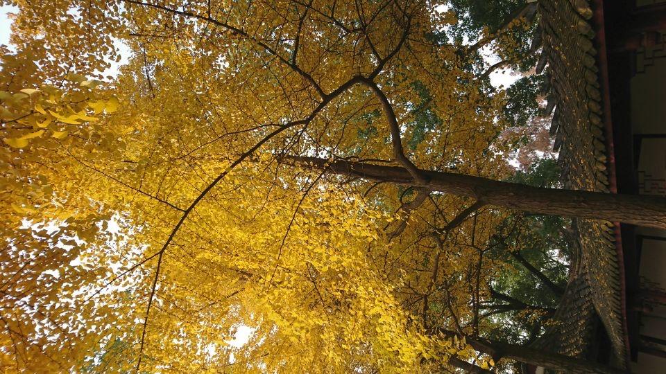 银杏树-2_图1-5