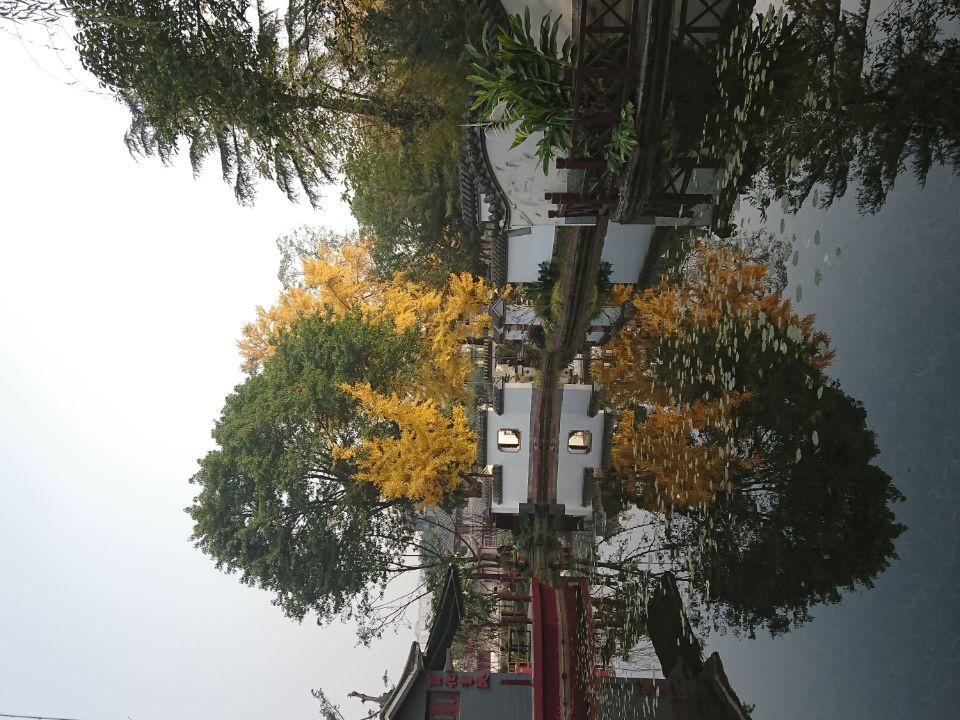 银杏树-2_图1-11