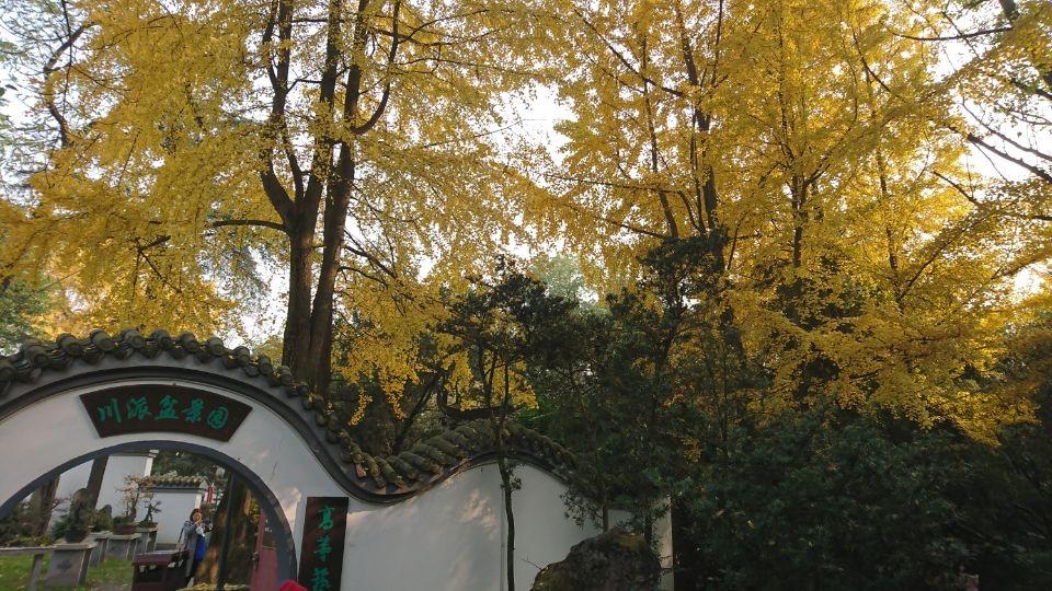 银杏树-2_图1-13