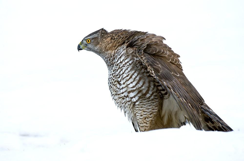 挪威苍鹰_图1-1