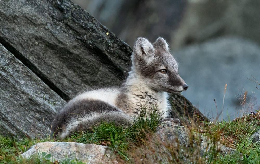 哥俩好----北欧小狐狸_图1-1