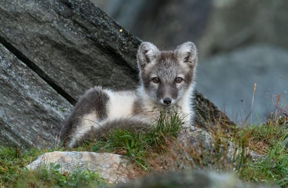 哥俩好----北欧小狐狸_图1-2