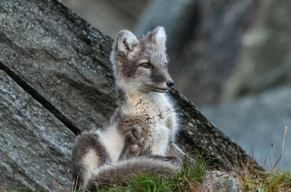 哥俩好----北欧小狐狸_图1-3