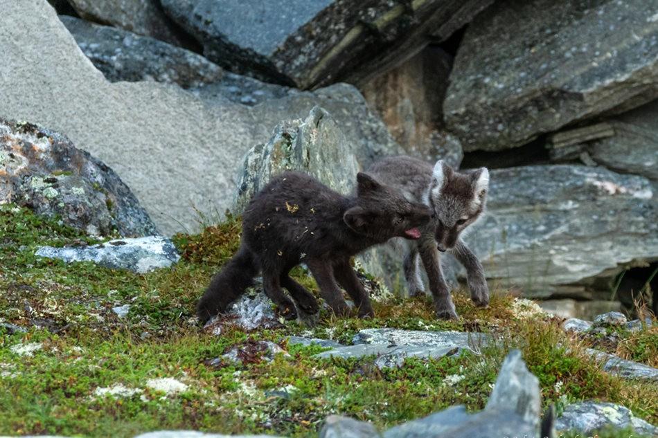 哥俩好----北欧小狐狸_图1-5