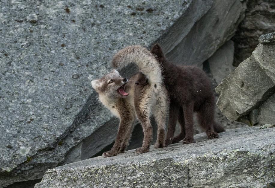 哥俩好----北欧小狐狸_图1-8