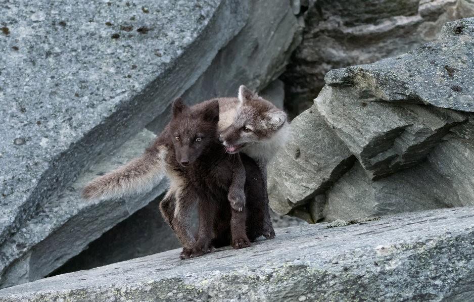 哥俩好----北欧小狐狸_图1-9