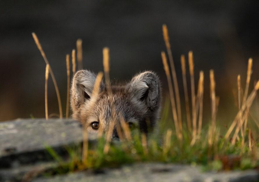 哥俩好----北欧小狐狸_图1-15