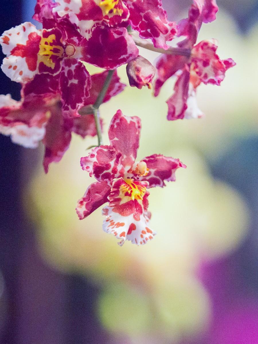 兰花,多姿多彩_图1-16