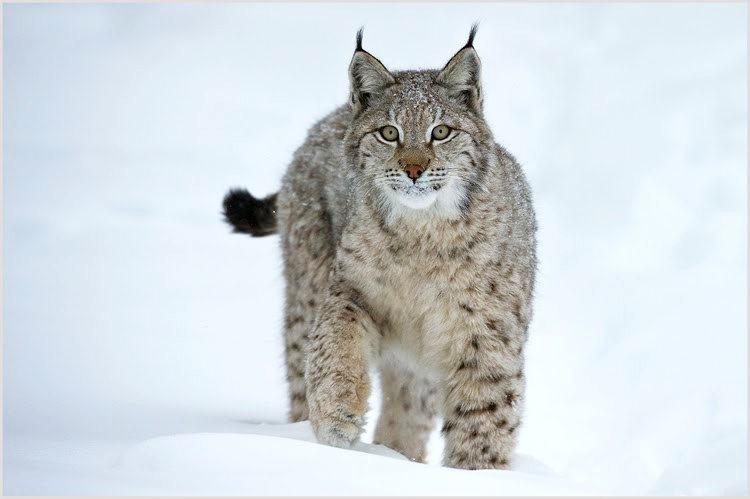 山猫在冬季_图1-1