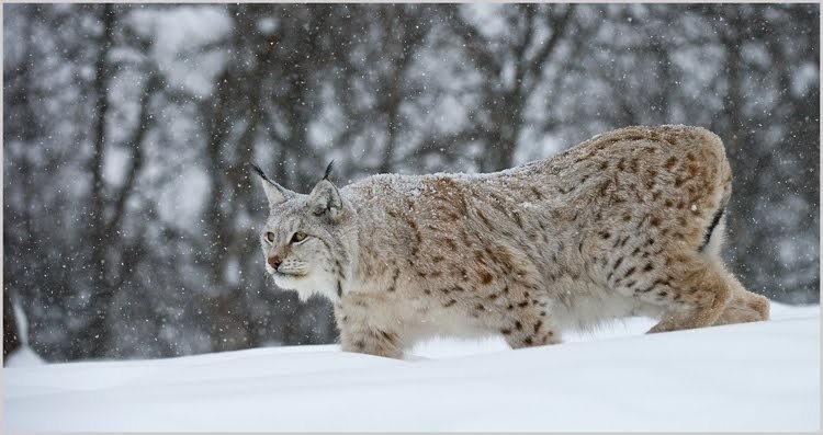 山猫在冬季_图1-2
