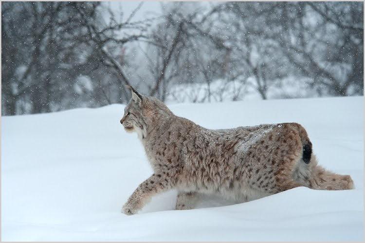山猫在冬季_图1-3