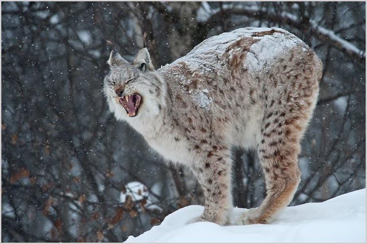 山猫在冬季_图1-4