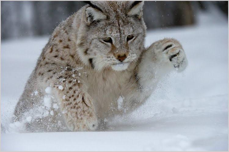 山猫在冬季_图1-5