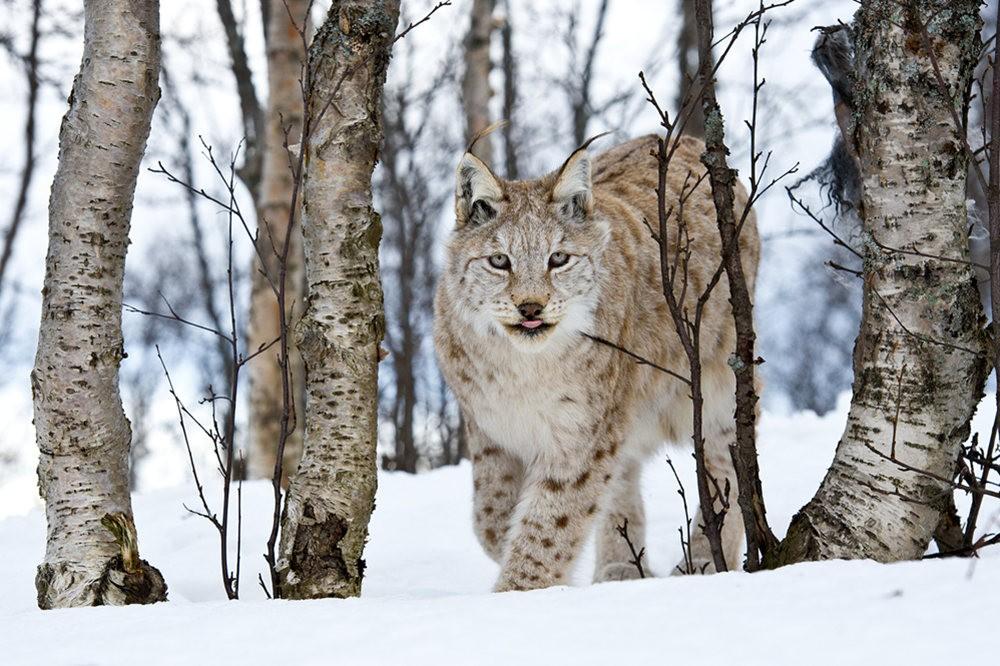 山猫在冬季_图1-7