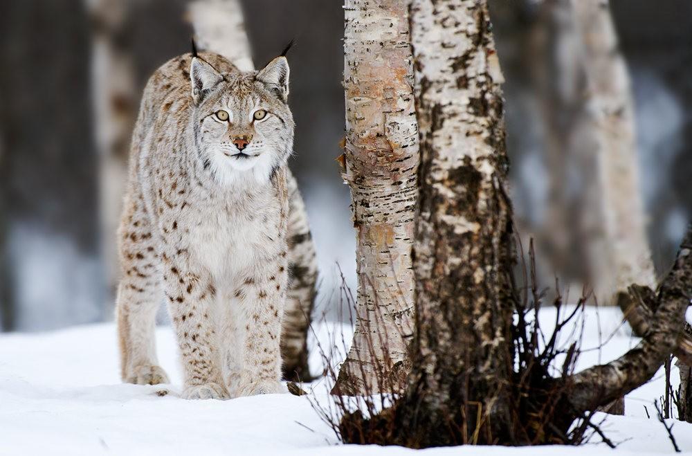 山猫在冬季_图1-8