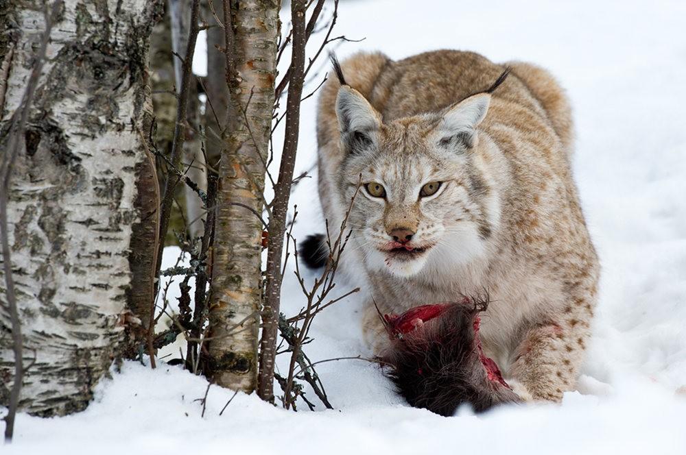 山猫在冬季_图1-9
