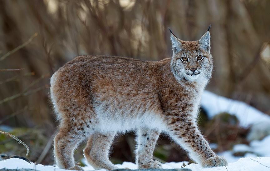 山猫在冬季_图1-11