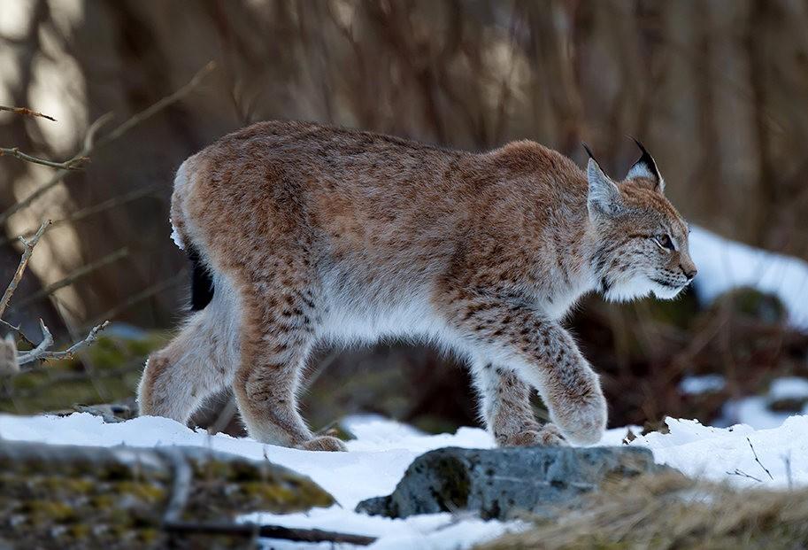 山猫在冬季_图1-12