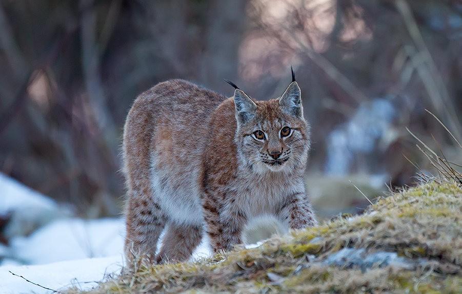山猫在冬季_图1-13