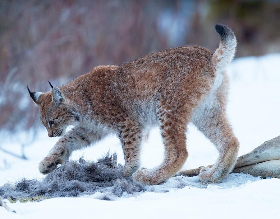 山猫在冬季_图1-15