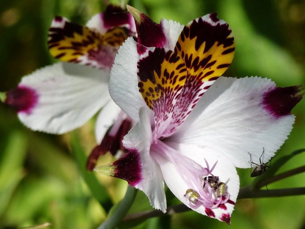 美艳六出花---参观智利国家植物园_图1-1