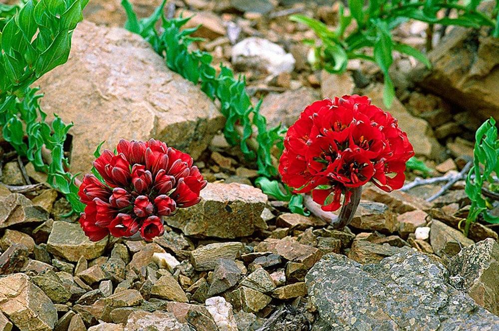 美艳六出花---参观智利国家植物园_图1-2