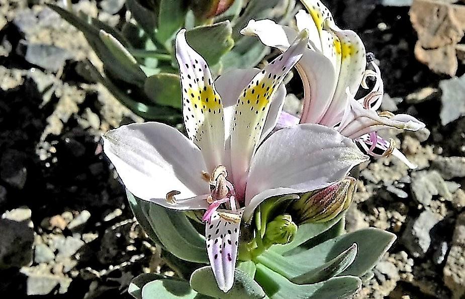 美艳六出花---参观智利国家植物园_图1-3