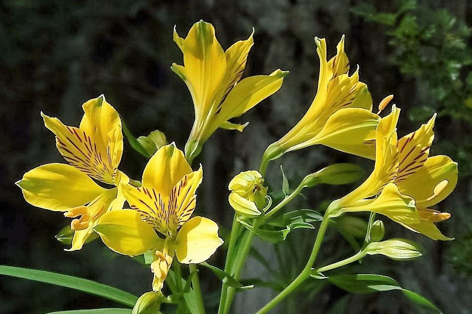 美艳六出花---参观智利国家植物园_图1-5