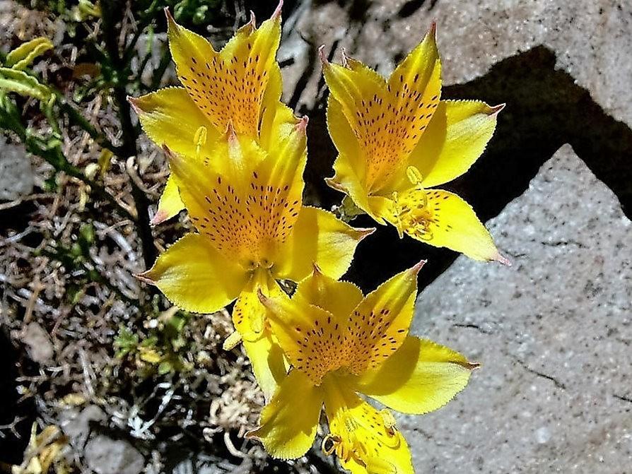 美艳六出花---参观智利国家植物园_图1-6