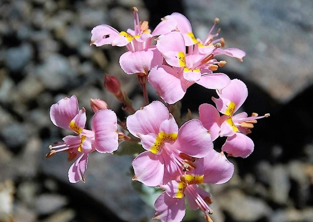 美艳六出花---参观智利国家植物园_图1-7
