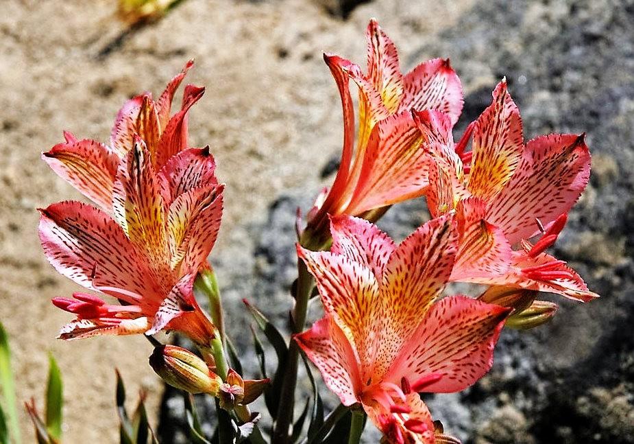 美艳六出花---参观智利国家植物园_图1-9