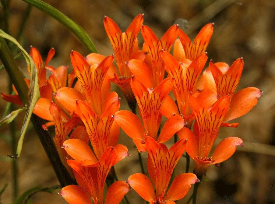 美艳六出花---参观智利国家植物园_图1-14