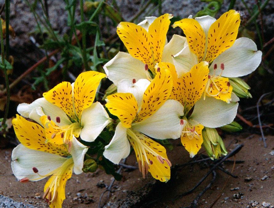 美艳六出花---参观智利国家植物园_图1-16