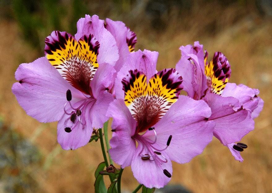 美艳六出花---参观智利国家植物园_图1-17