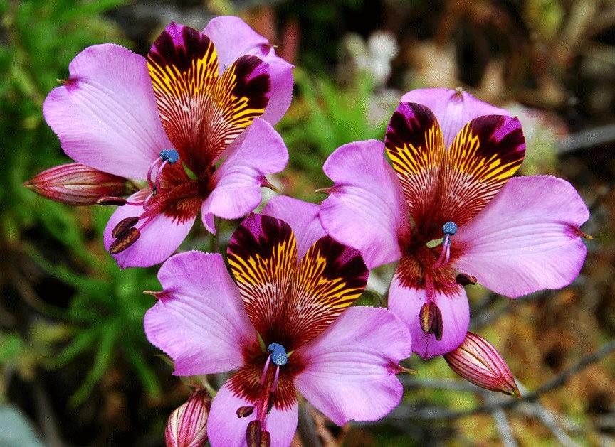 美艳六出花---参观智利国家植物园_图1-18