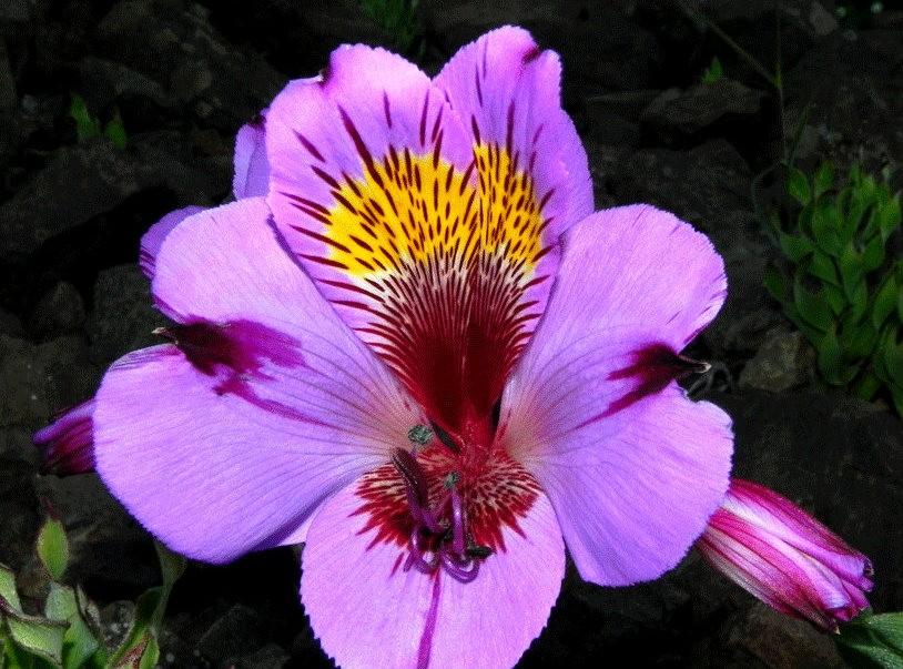 美艳六出花---参观智利国家植物园_图1-20