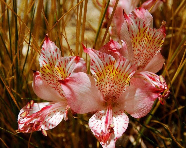 美艳六出花---参观智利国家植物园_图1-21