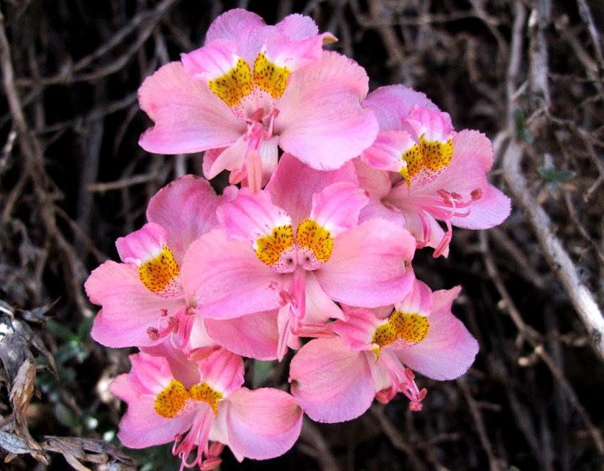 美艳六出花---参观智利国家植物园_图1-22