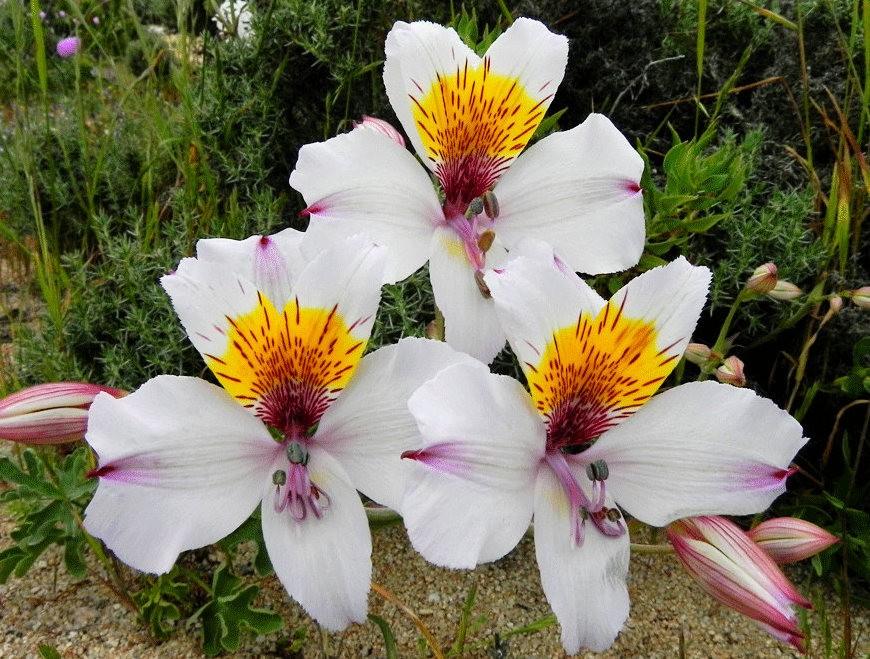 美艳六出花---参观智利国家植物园_图1-23