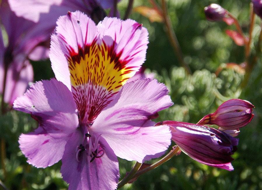 美艳六出花---参观智利国家植物园_图1-24