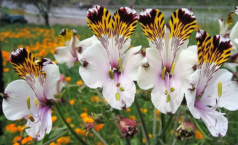 美艳六出花---参观智利国家植物园_图1-28