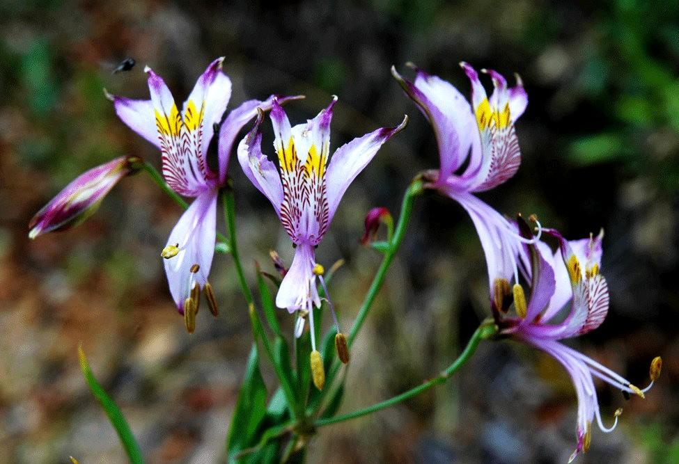 美艳六出花---参观智利国家植物园_图1-31