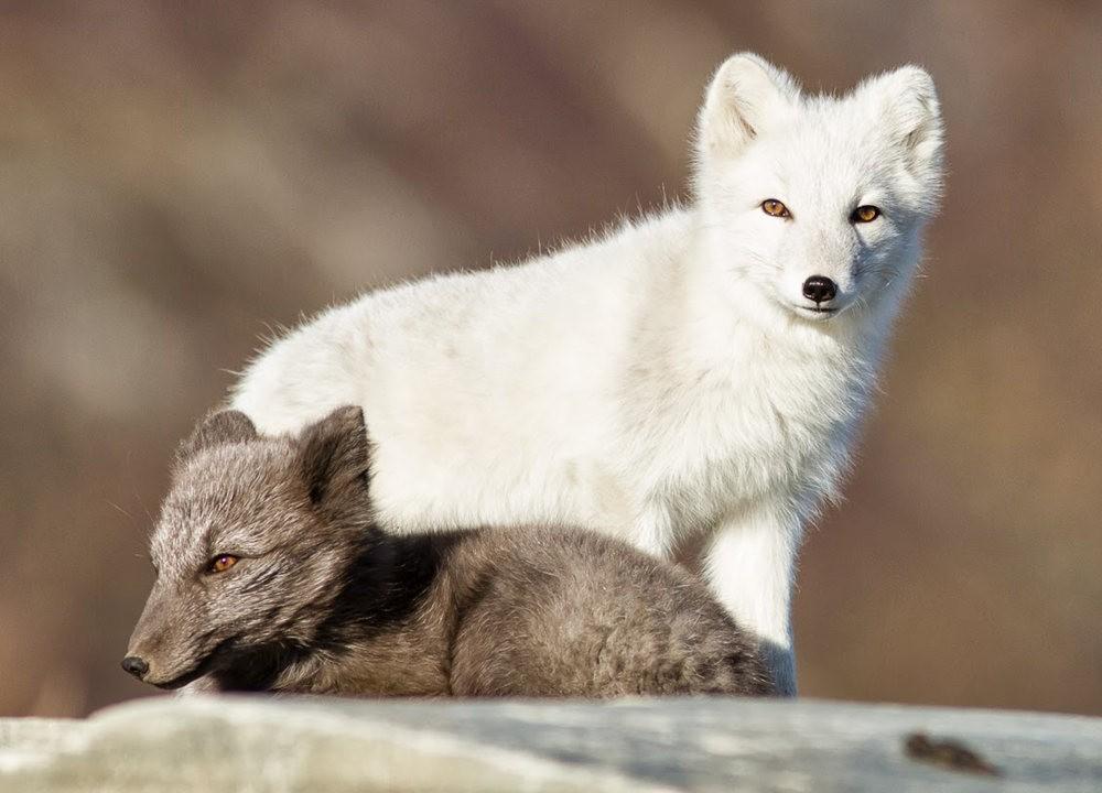 哥俩好 2-----白狐与黑狐_图1-1