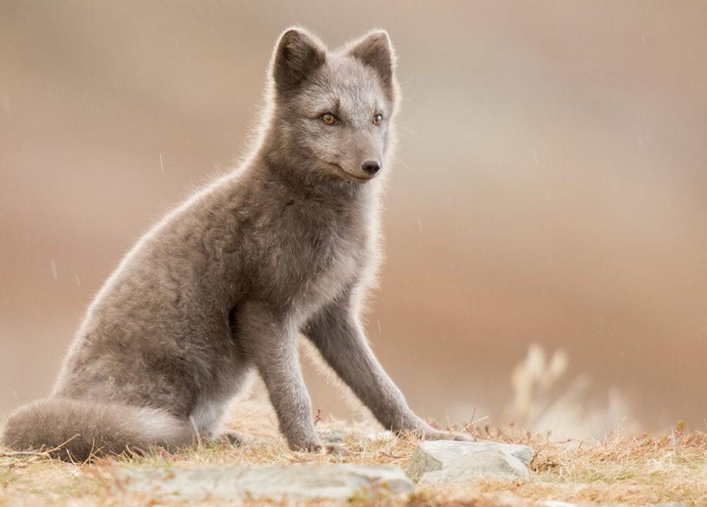 哥俩好 2-----白狐与黑狐_图1-2