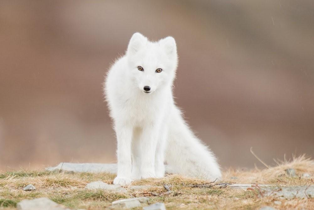 哥俩好 2-----白狐与黑狐_图1-3