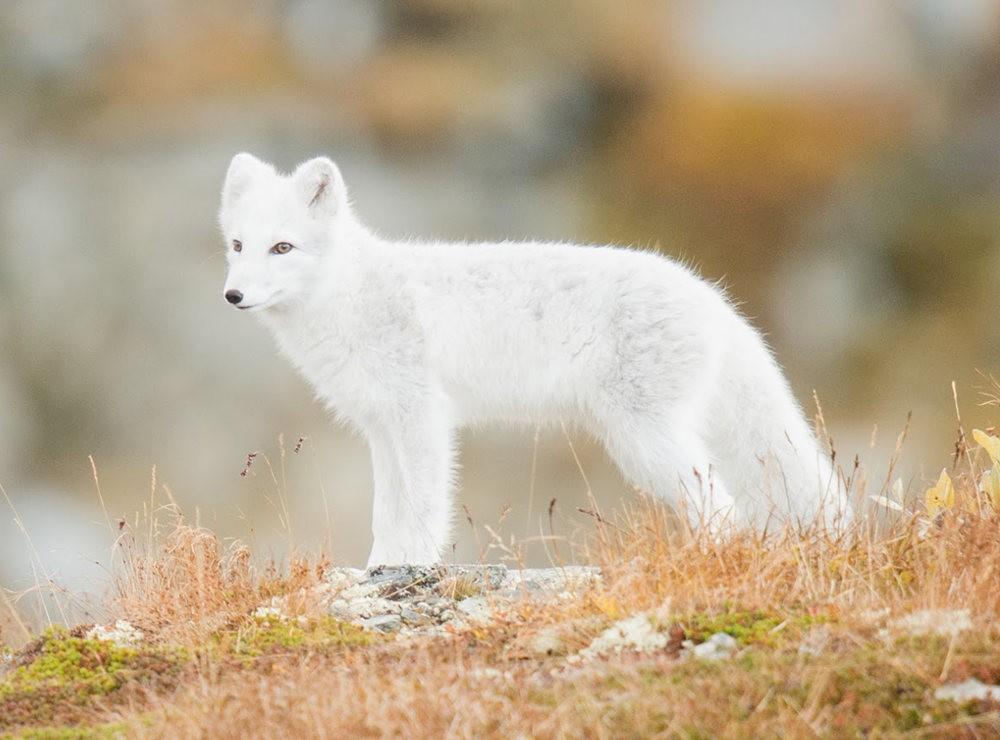 哥俩好 2-----白狐与黑狐_图1-6